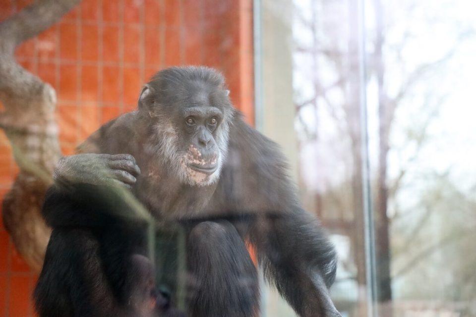Schimpanse Benny im Zoo Karlsruhe