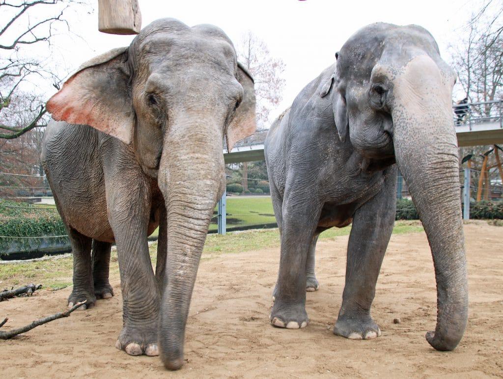Rani (r.) With colleague Nanda in Karlsruhe Zoo in 2017