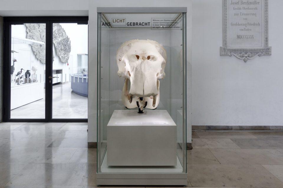 Schädel von Elefant Rani im Naturkundemuseum Karlsruhe